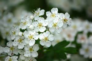 what trees white blossoms daily flower candy crataegus monogyna the frustrated gardener