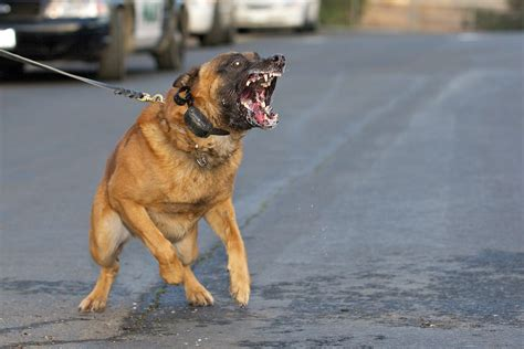 worlds  dangerous dog breeds thedelite
