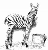 Zebra Coloring Pages Animals Printable Sketch Realistic Wildlife Head Bucket Getcoloringpages sketch template