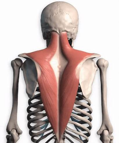 Anatomy Muscles Upper Trapezius Shoulder Lower Muscle