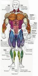 Major Muscles Of The Body  With Their Common Names And