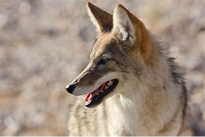 Animals Coyote Animales Animali Teeth National Imagenes