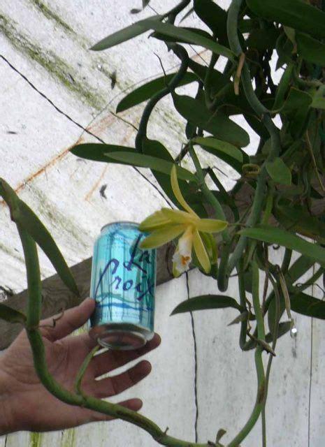vanilla orchid vanilla planifolia    garden