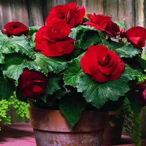 when do begonias bloom red double roseform begonia 60884 flowers for spring planting red begonias bloom june to