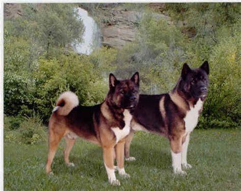 Do Akitas Shed Year by Do Akitas Swim Get Along Dogs Sleep Around