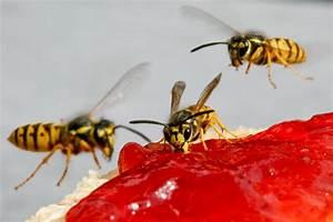 Was Essen Wespen : wie sch tzt man sich vor bienen und wespen ~ Frokenaadalensverden.com Haus und Dekorationen