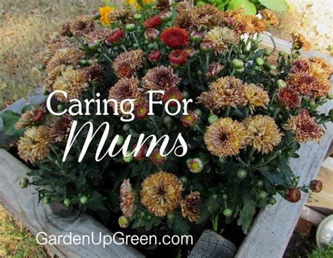 caring for mums caring for mums so they blooms year after year f a l l t h y m e pinterest