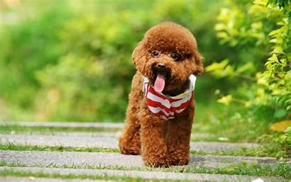Poodle Brown Dog