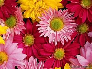 Beautiful Daisy Flower Desktop Wallpapers