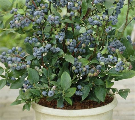 Cottage Farms 3n1 Homegrown Blueberry  Page 1 — Qvccom
