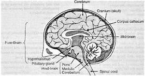 Human Brain Diagram With Parts