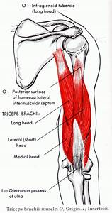 Diagram Of Triceps