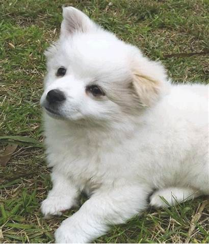 Dog Chow Collie Dogs Japanese Spitz Originally
