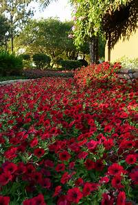 Petunia Tidal Wave® Red Velour F1 | All-America Selections