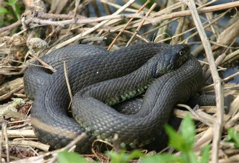 grass snake naturespot