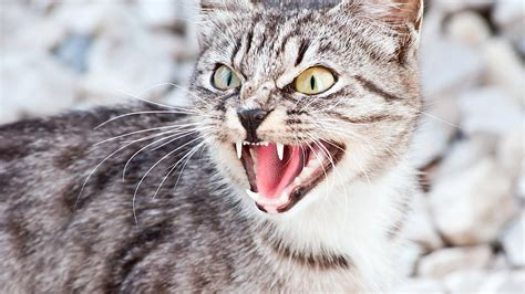 cat hiss hissing cats why care warzone subway always domesticated never there kittentoob each