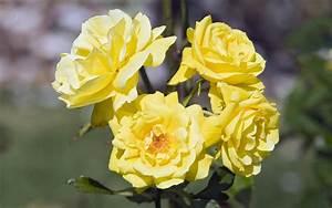 yellow rose flower wallpaper - HD Desktop Wallpapers   4k HD
