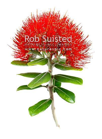 red pohutukawa flowers myrtaceae metrosideros excelsa
