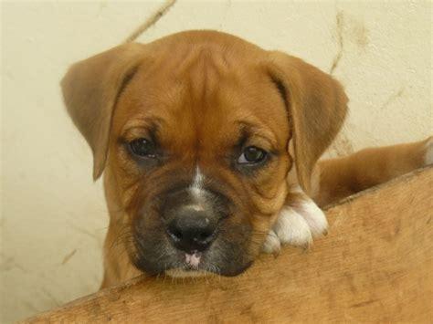 Boxer  Ee  Puppies Ee    Ee  For Sale Ee   Chiriqui Chatter