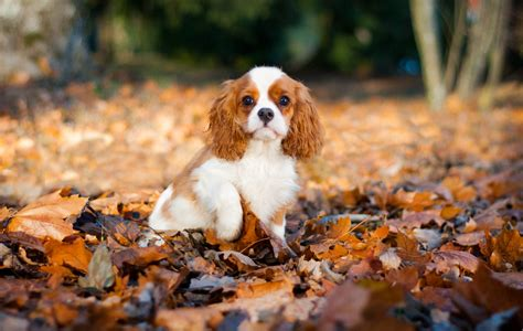 Do Spaniels Shed by Cavalier King Charles Spaniel Shedding And How To Manage It
