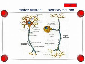 Simple Diagram Of A Sensory Neuron Images