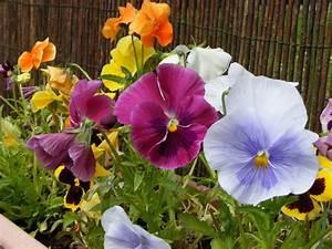 Welche Balkonpflanzen Ab März : blumen im m rz pflanzen ~ Whattoseeinmadrid.com Haus und Dekorationen