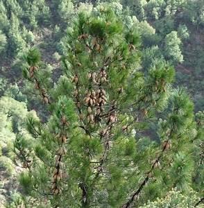 Knobcone Pine, in its native habitat in central California ...