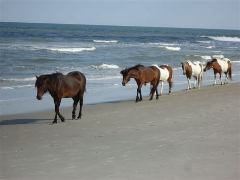 assateague island ponies wild seashore ocean national thing pony maryland horses places park vacation assateagueisland animals chincoteague horse ocmd while