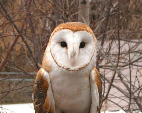 barn owl utahs hogle zoo