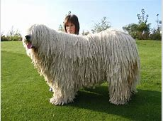 Komondor Pictures Wallpapers9