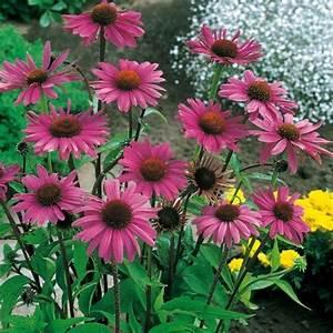 Sonnenhut Pflanze Kaufen : roter sonnenhut online kaufen bei g rtner p tschke ~ Buech-reservation.com Haus und Dekorationen