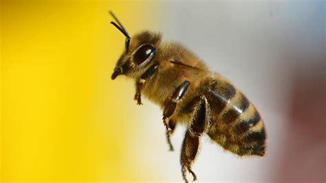 L'apipuncture, Guérir Grâce Au Venin Des Abeilles