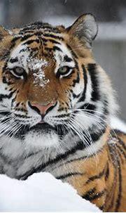 Tiger 4k Ultra HD Wallpaper   Background Image   4013x2670 ...