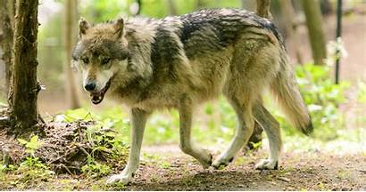 Wolf Gray Union Endangered Serious Scientists Concerned