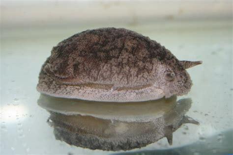 toxic sea slugs niwa