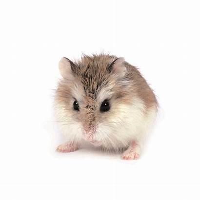Hamster Roborovski Hamsters Robo Maxizoo Fur Roborowski