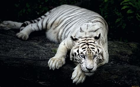 Hd Wallpapers Animals Tigers - white tiger animal wallpapers hd wallpapers id 18057