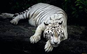 White Tiger Animal Wallpapers | HD Wallpapers | ID #18057