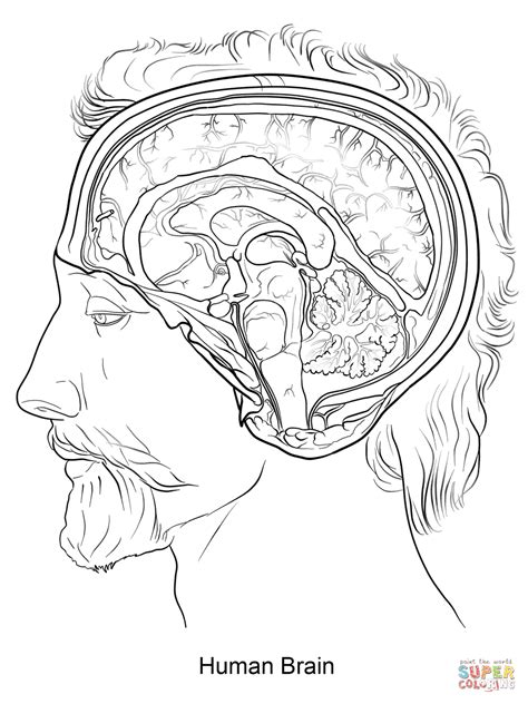 Hersenen Kleurplaat by Brain Anatomy Coloring Pages Az Coloring Pages