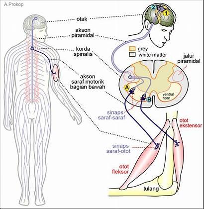 Saraf Sistem Otot Motor Dan Gambar Gerakan
