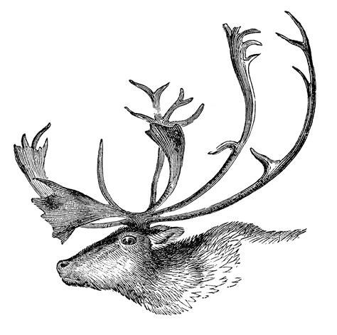 vintage animal clip art caribou  antlers