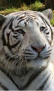 White Bengal Tigers: A Harmful Genetic Mutation | HubPages