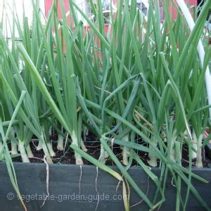 grow onions  spring onions  success  flavour