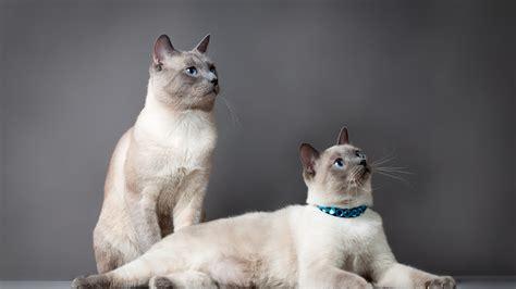herunterladen  full hd hintergrundbilder katzen