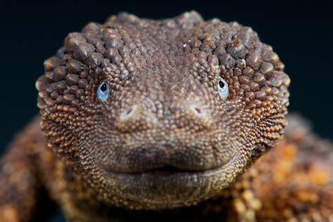 reclusive lizard   prize find  wildlife