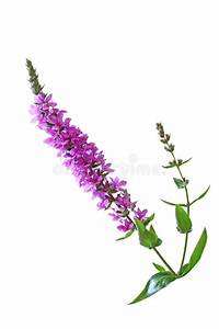 Purple Loosestrife Flower stock photo. Image of pink ...