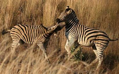 Zebra Wallpapers Rare Zebras Theme Playing Dashing