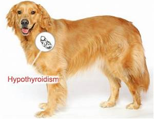 01 hypothyroidism in dogs veterinarypartner a vin pany