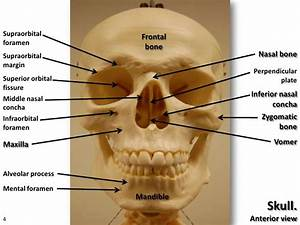 The 25  Best Axial Skeleton Ideas On Pinterest