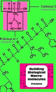 Proteins Macromolecule Biochemistry Activity For Senior